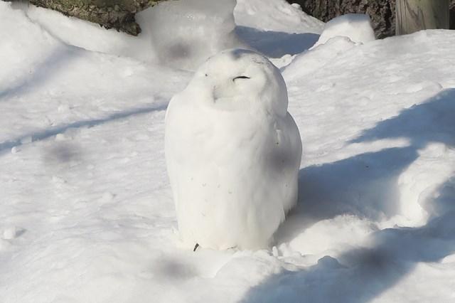 SnowyOwl201901
